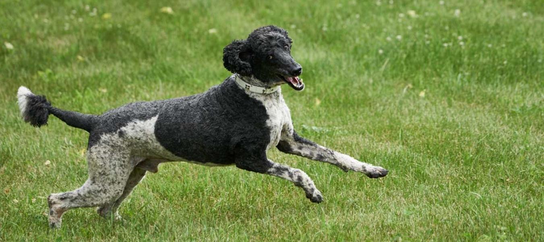 large black & white poodle jumping